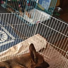 家族/避難/台風/ペット 昨夜、台風対策で我が家のリビングは、犬達…(2枚目)