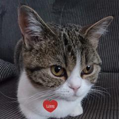 スコティッシュフォールド立ち耳/フォロー大歓迎/ペット/ペット仲間募集/猫/にゃんこ同好会/... 顔がキリッ‼️ 耳が長い❓