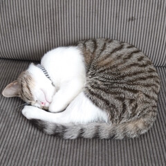 アンモニャイト/スコティッシュフォールド立ち耳/ペット/猫/住まい アンモニャイト‼️