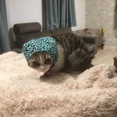 スコティッシュフォールド立ち耳/ペット/猫/住まい/ファッション 泥棒猫参上🐈
