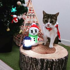 ペット/猫/にゃんこ同好会/クリスマス/クリスマスツリー/ニトリ/... てぃむちゃん初めてのクリスマス🎄 明日は…