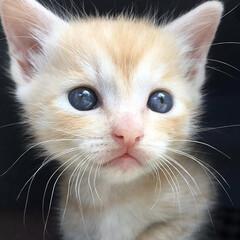 仔猫/茶トラ/茶トラ男子部/猫/にゃんこ同好会/ペット 保護してすぐの琥太郎❤️