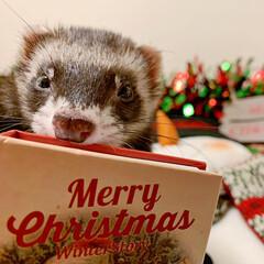 保護猫/子猫/ベンガル/スコティッシュフォールド/クリスマスプレゼント/猫部/... クリスマス、まだかまだかなってみんなでお…