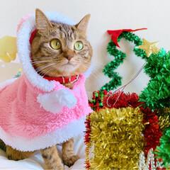 小悪魔/ねこ/ベンガル猫/ベンガルキャット/ベンガル/スコティッシュ/... ともにゃんは、可愛いピンクのトナカイさん…(10枚目)