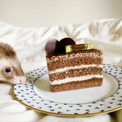 おやつ/生チョコケーキ/生チョコ/小動物/フェレット/チョコ/... 今日は 生チョコケーキをいただいたので …