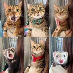 アメリカンショートヘア/anan/にゃんこLove/保護猫/ねこ/猫/... 似てるようで みんな違う😸😸😸🐻😸🐻  …