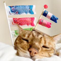 のせ芸/のせ猫/たれ猫/鯉のぼり/ベンガルキャット/ベンガル猫/... 俺の得意な たれ猫スタイルでのせ芸 鯉の…