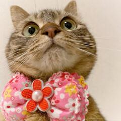 ふわもこ部/猫部/ねこ/保護猫/スコティッシュフォールド/スコティッシュ/... 友子ちゃんのドアップ😻💕 よ~く見てると…(7枚目)