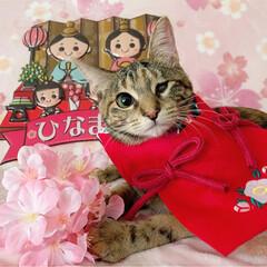 初節句/雛祭り/ひな祭り/アメショ/アメリカンショートヘア/保護猫/... ももちゃん 初めてのひな祭り🌸✴🎎✴🌸 …