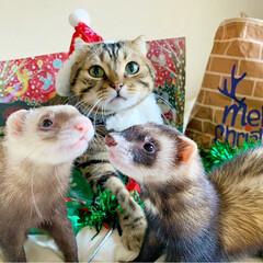 保護猫/猫部/スコティッシュフォールド/スコティッシュ/小動物/フェレット/... もうすぐクリスマス🎅🏼🎄🎂🍷🎁⛄️🎉 (9枚目)