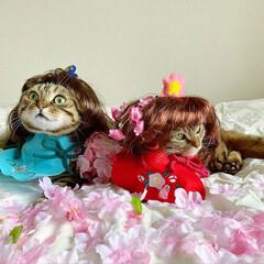 初節句/雛祭り/ひな祭り/アメショ/アメリカンショートヘア/子猫/... ぼくの、大好きな妹🙈💕 友子ちゃんと桃子…(3枚目)