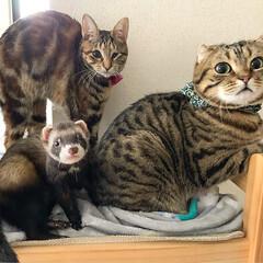 子猫/アメショ/アメリカンショートヘア/保護猫/小動物/フェレット/... みんなで集合にゃう~😸😸🐻 今日は、何を…