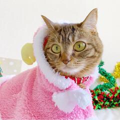 小悪魔/ねこ/ベンガル猫/ベンガルキャット/ベンガル/スコティッシュ/... ともにゃんは、可愛いピンクのトナカイさん…(8枚目)