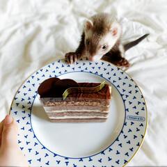 おやつ/生チョコケーキ/生チョコ/小動物/フェレット/チョコ/... 今日は 生チョコケーキをいただいたので …(2枚目)