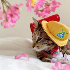 仔猫/子猫/入学式/アメリカンショートヘア/アメショ/1年生/... 私の最近のお気に入り写真😸  1年生の年…(6枚目)