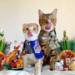 リミアペット同好会/子猫/ベンガル/スコティッシュフォールド/お正月2020/キャンドゥ/... お兄ちゃんと弟で 新年仲良く 仲良し真似…(1枚目)