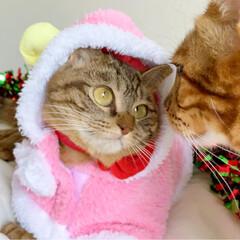 小悪魔/ねこ/ベンガル猫/ベンガルキャット/ベンガル/スコティッシュ/... ともにゃんは、可愛いピンクのトナカイさん…(4枚目)