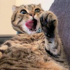 招き猫/ふわもこ部/スコティッシュフォールド/スコティッシュ/うちの子ベストショット/LIMIAペット同好会/... ぼくがペロンってする瞬間 撮られちゃって…(5枚目)