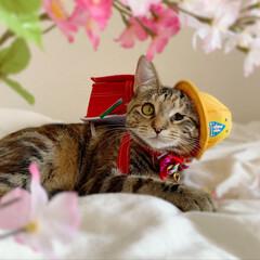 仔猫/子猫/入学式/アメリカンショートヘア/アメショ/1年生/... 私の最近のお気に入り写真😸  1年生の年…(3枚目)