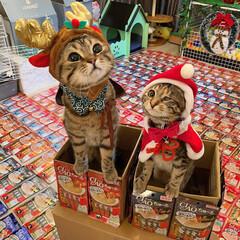 プレゼント/トナカイ/お菓子/ちゅーる/サンタクロース/アメリカンショートヘア/... ぼく達が、にゃんこのみんなに ちゅーるを…(3枚目)