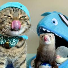 スコティッシュフォールド/スコティッシュ/ベンガル/ねこ/猫/エキゾチックアニマル/... まんまるコンビ参上にゃん😻🐻🐻  水族館…