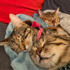 ふわもこ部/ベンガル/子猫/保護猫/スコティッシュフォールド/スコティッシュ/... お布団に入って 兄弟仲良く、おやすみなさ…(5枚目)
