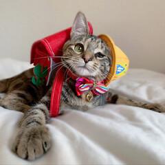 仔猫/子猫/入学式/アメリカンショートヘア/アメショ/1年生/... 私の最近のお気に入り写真😸  1年生の年…