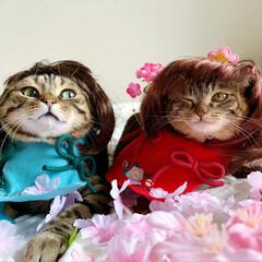 初節句/雛祭り/ひな祭り/アメショ/アメリカンショートヘア/子猫/... ぼくの、大好きな妹🙈💕 友子ちゃんと桃子…