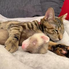 アメショ/アメリカンショートヘア/子猫/保護猫/フェレット部/大家族/... ずっと前から一緒だったかのように、仲良し…(5枚目)