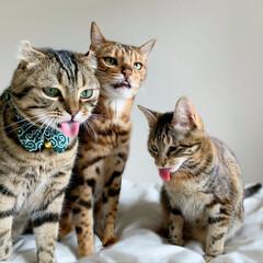 兄弟/アメリカンショートヘア/アメショ/保護猫/ベンガルキャット/ベンガル猫/... 子供達の変顔大会!! いがいと('👅')…(10枚目)