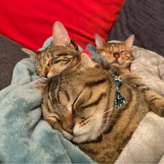 ふわもこ部/ベンガル/子猫/保護猫/スコティッシュフォールド/スコティッシュ/... お布団に入って 兄弟仲良く、おやすみなさ…(3枚目)