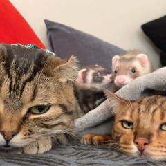 ふわもこ部/スコティッシュフォールド/スコティッシュ/赤ちゃんのいる生活/子猫/エキゾチックアニマル/... 男子組が集合してたのだけど、ちびっ子がガ…