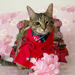 初節句/雛祭り/ひな祭り/アメショ/アメリカンショートヘア/保護猫/... ももちゃん 初めてのひな祭り🌸✴🎎✴🌸 …(4枚目)