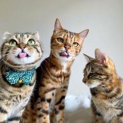 兄弟/アメリカンショートヘア/アメショ/保護猫/ベンガルキャット/ベンガル猫/... 子供達の変顔大会!! いがいと('👅')…(3枚目)