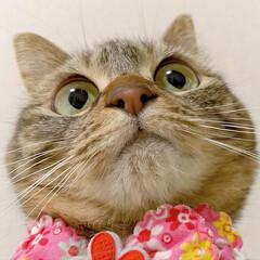 ふわもこ部/猫部/ねこ/保護猫/スコティッシュフォールド/スコティッシュ/... 友子ちゃんのドアップ😻💕 よ~く見てると…(6枚目)