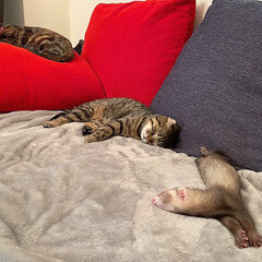 スコティッシュフォールド/スコティッシュ/小動物/フェレット/LIMIAペット同好会/フォロー大歓迎/... ぼくの小さい弟は 眠りながらよく動くにゃ…(9枚目)