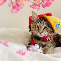 仔猫/子猫/入学式/アメリカンショートヘア/アメショ/1年生/... 私の最近のお気に入り写真😸  1年生の年…(7枚目)
