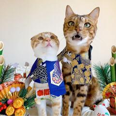 リミアペット同好会/子猫/ベンガル/スコティッシュフォールド/お正月2020/キャンドゥ/... お兄ちゃんと弟で 新年仲良く 仲良し真似…(4枚目)