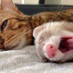 ベビー/赤ちゃん/赤ちゃんのいる生活/お昼寝/ベンガルキャット/ベンガル/... くぅの枕は ロディにぃたんのおてて だく…(2枚目)