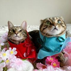 初節句/雛祭り/ひな祭り/アメショ/アメリカンショートヘア/子猫/... ぼくの、大好きな妹🙈💕 友子ちゃんと桃子…(8枚目)