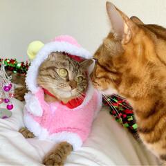 小悪魔/ねこ/ベンガル猫/ベンガルキャット/ベンガル/スコティッシュ/... ともにゃんは、可愛いピンクのトナカイさん…(3枚目)
