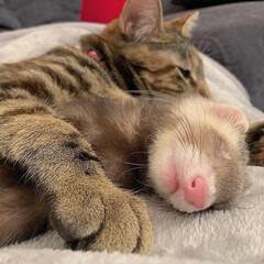 アメショ/アメリカンショートヘア/子猫/保護猫/フェレット部/大家族/... ずっと前から一緒だったかのように、仲良し…(8枚目)