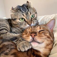 兄弟/猫部/ベンガルキャット/猫/ベンガル/ねこ/... ティノの愛情表現は 世界1🌎だにゃおー🥰…