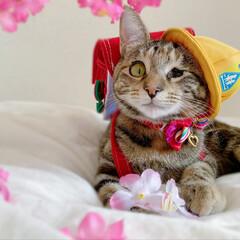 仔猫/子猫/入学式/アメリカンショートヘア/アメショ/1年生/... 私の最近のお気に入り写真😸  1年生の年…(8枚目)