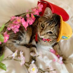 仔猫/子猫/入学式/アメリカンショートヘア/アメショ/1年生/... 私の最近のお気に入り写真😸  1年生の年…(2枚目)