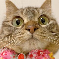 ふわもこ部/猫部/ねこ/保護猫/スコティッシュフォールド/スコティッシュ/... 友子ちゃんのドアップ😻💕 よ~く見てると…(5枚目)