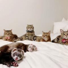 記念写真/姉妹/兄弟/家族写真/アメリカンショートヘア/保護猫/... 平成最後のお写真は 全員集合で😻😻😻🐻😻…