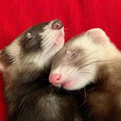 兄弟/寝相/お昼寝/エキゾチックアニマル/小動物/フェレット/... なかよくスヤスヤ😴 双子のような兄弟🐻❤…(5枚目)