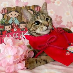 初節句/雛祭り/ひな祭り/アメショ/アメリカンショートヘア/保護猫/... ももちゃん 初めてのひな祭り🌸✴🎎✴🌸 …(2枚目)