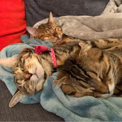 ふわもこ部/ベンガル/子猫/保護猫/スコティッシュフォールド/スコティッシュ/... お布団に入って 兄弟仲良く、おやすみなさ…(4枚目)